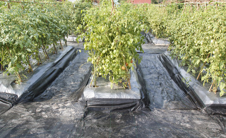 Plastic Ground Cover Or Weed Barrier In Tomato Garden Stock Photo, Picture  And Royalty Free Image. Image 28174557.