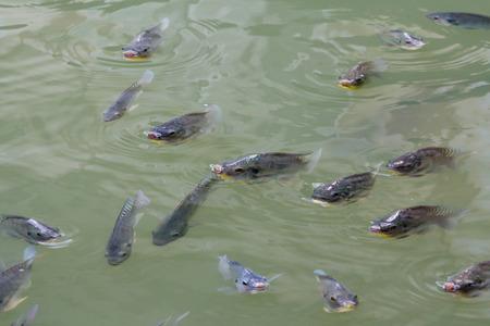 nile tilapia: Tilapia Fish in farm
