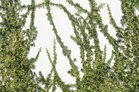 Ficus pumila climbing on white wall photo