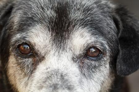 Animal - Old dog. labrador retriever