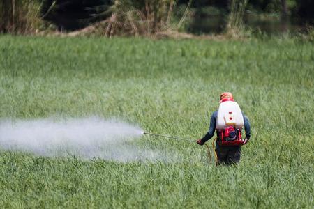 pesticide: Farmer spraying pesticide on rice field