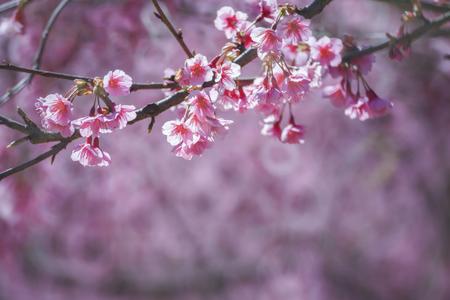 fleur de cerisier: Fleurs de cerisier, fleurs sakura