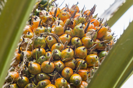 bio diesel: alm fruit on the tree, tropical plant for bio diesel production