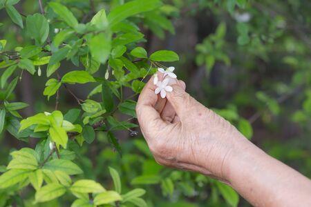 tree jasmine: Senior woman picking water jasmine flowers from tree Stock Photo