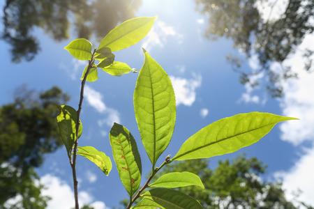 Wild tea (Assam Tea) in northern Thailand , Camellia sinensis var. assamica