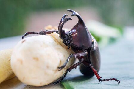 Siamese rhinoceros beetle or Fighting beetle eating banana