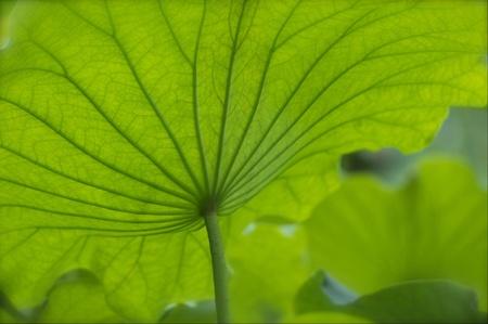 Lotus leaf Stock Photo - 20650865