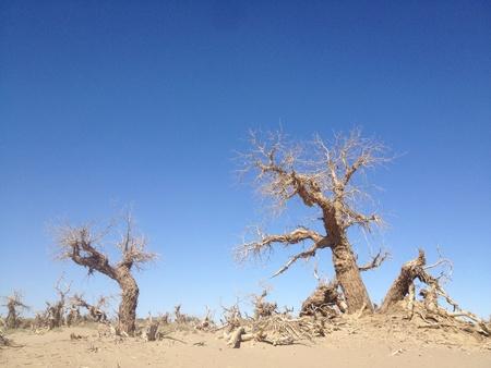 inner mongolia: Strange forest ejina Inner Mongolia