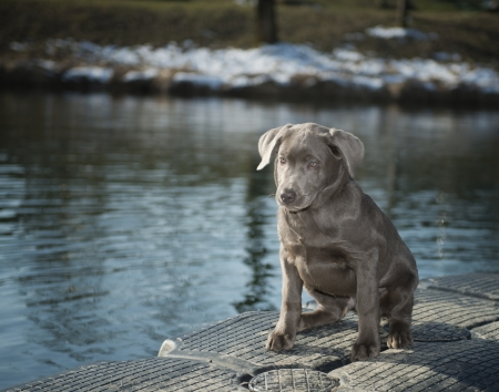 Labrador puppy sitting on water   photo