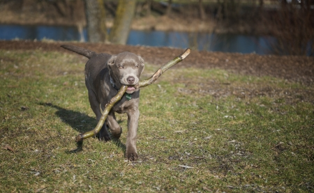 Labrador puppy when retrieving   photo