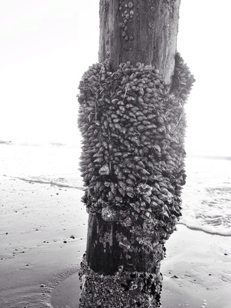 barnacles: barnacles on the pier  Stock Photo