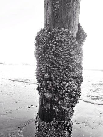 barnacles: cirripedi sul molo