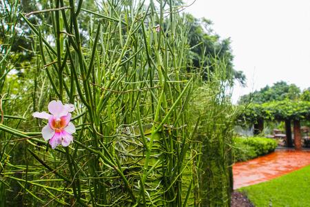 orchid hybrid Vanda Miss Joaquim Plant in Botanic garden, Singapore