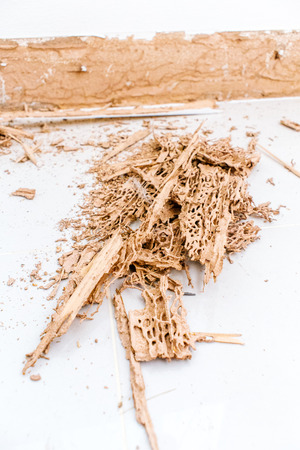 Termites eusocial insects damage wood in human house photo