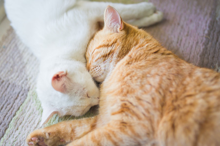 pussy yellow: White and ginger yellow cat sleep together