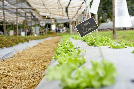 green butter head lettuce organic field