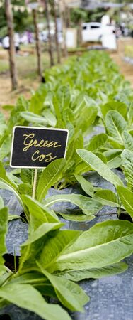 green cos lettuce field banner vertical size