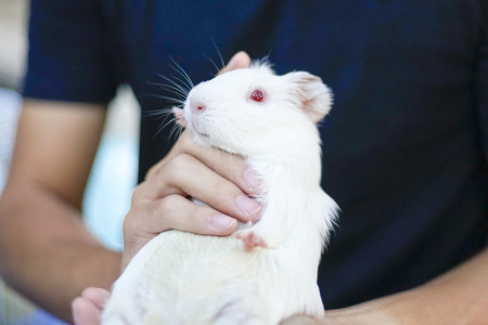 human holding huge white hamster with red eyes carefully Banco de Imagens - 89508636