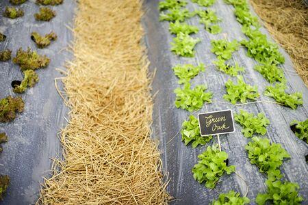 blur backgroud copy space green oak lettuce field