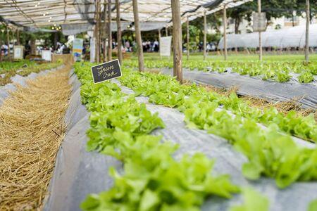 green oak lettuce field Banco de Imagens