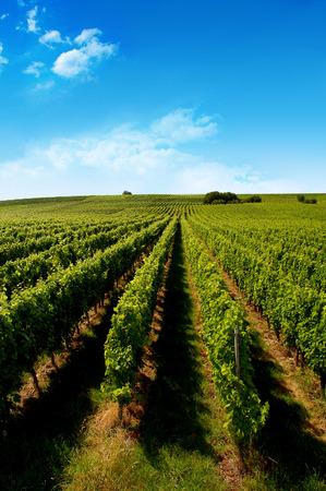 oenology: a german vineyard near the rhein river