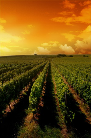 wineyard: a german vineyard near the rhein river