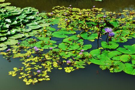 waterlilly: Purple water Lilly on pool. Stock Photo