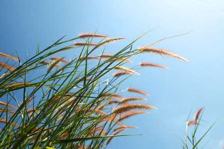 feild: Grass and blue sky Stock Photo