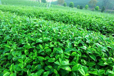 feild: Choui Fong Oolong Tea Garden. Chiang Rai, Thailand