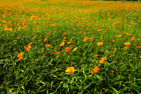 feild: Cosmos Flower Feild, Chiang Rai, Thailand