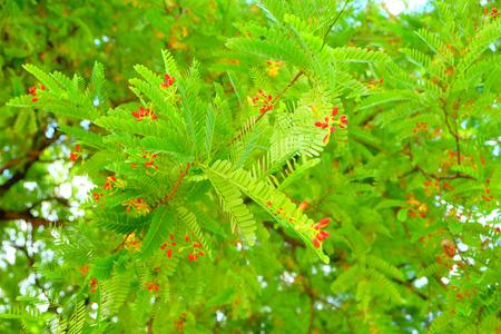 tamarindo: tamarind flower tree