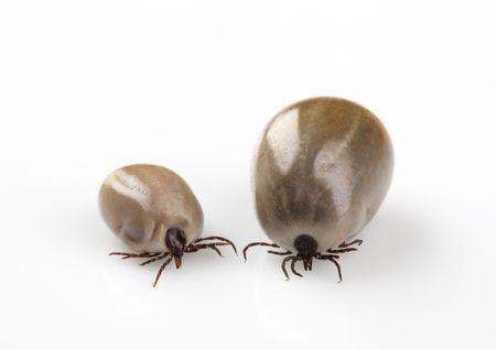 wood tick: Two fed blood-sucking ticks - studio shot