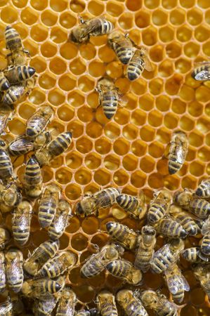 Industrious honeybees on a comb