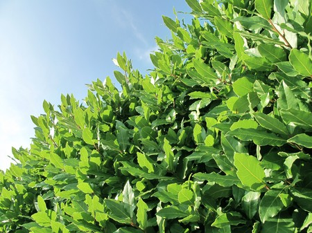 Closeup of a green bay tree photo