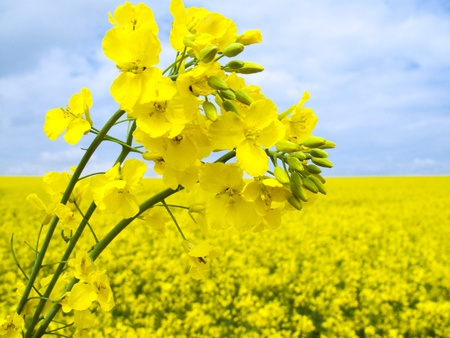 oilseed:  Field of flowering oilseed rape - closeup Stock Photo