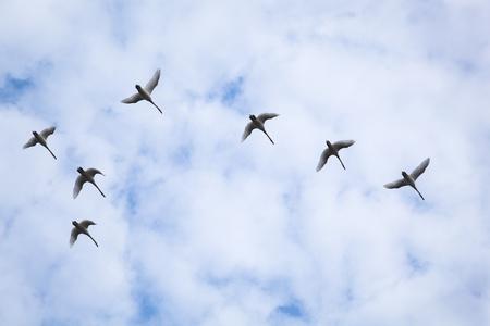 Flock of swans photo