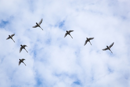 migrating animal: Flock of swans