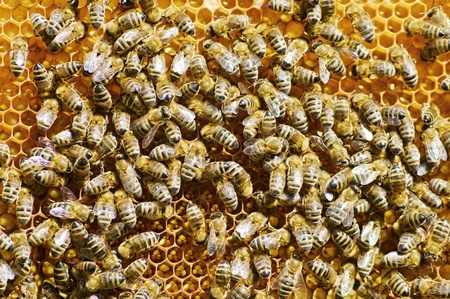 wasp: Honeybees on a comb