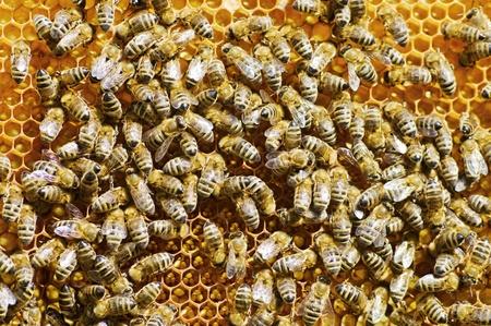 abejas panal: Las abejas en un panal