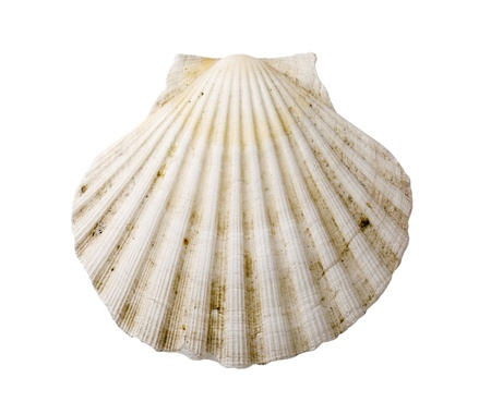 scallop shell: Fan-shaped sea shell isolated on white Stock Photo