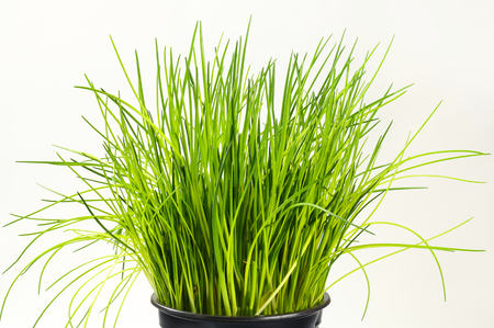 clump: Clump of chives in pot Stock Photo