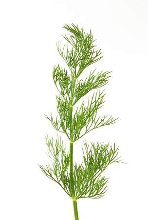 Fresh dill weed on white background