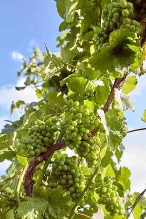 Green wine on the vine with sun