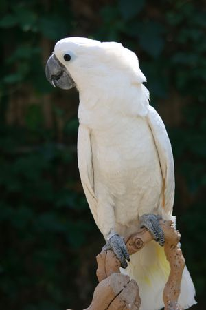White Umbrella Cockatoo photo