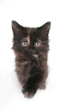 Black  Kitten on White Stock fotó