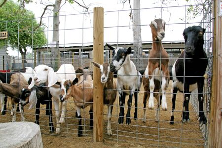 Billy Goats on a Farm photo