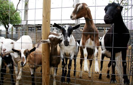 Billy Goats on a Farm Stock Photo - 395739