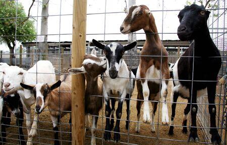 Billy Goats on a Farm Stock Photo - 395739