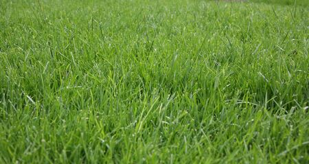 Green Grass With Long Blades Stock Photo - 395740
