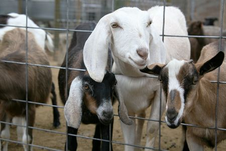 Billy Goats on a Farm Stock Photo - 395743